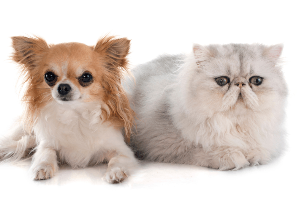 do persian cats make good pets if you have a dog