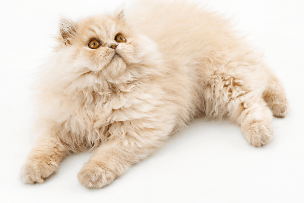 cream colored persian cat