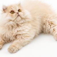 cream colored persian cat