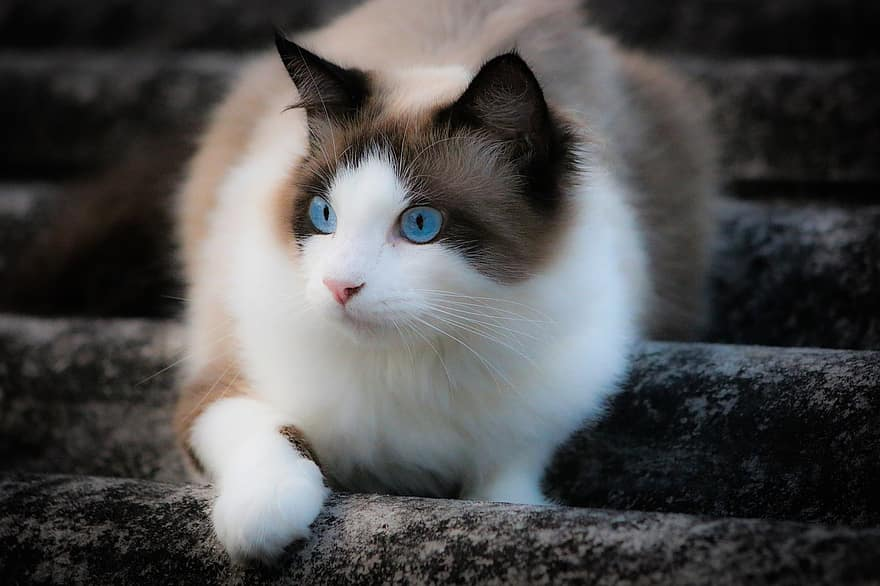 snow shoe one of the best cat breeds for seniors