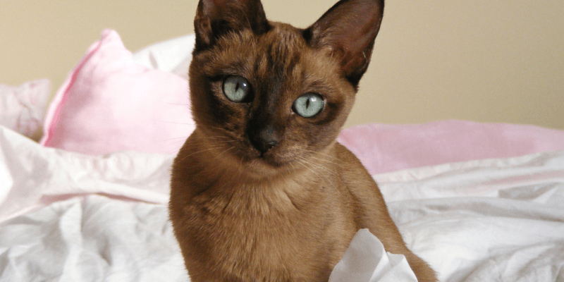 what is a tonkinese cat
