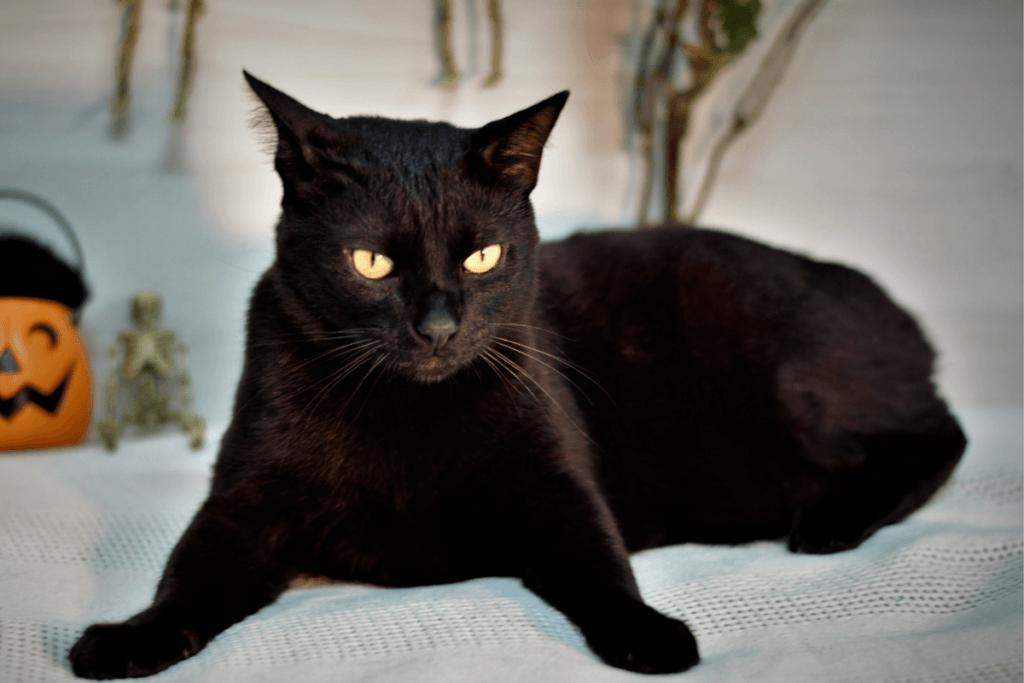 black japanese bobtail cat