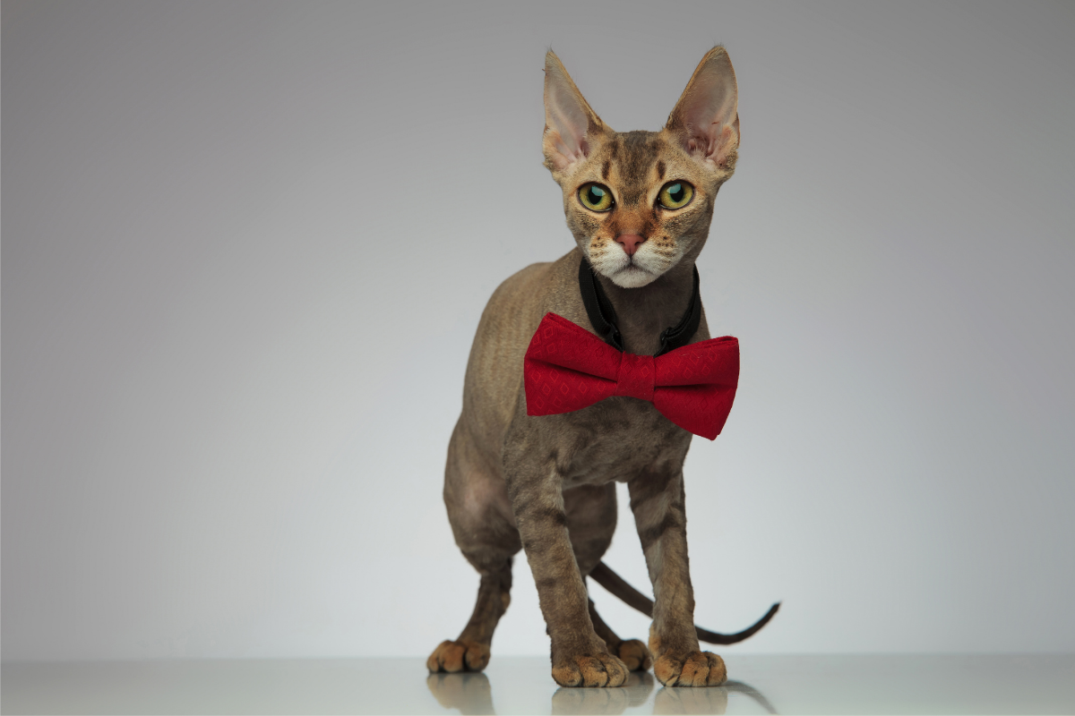 about peterbald cats
