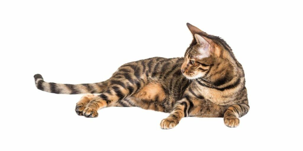toyger cat relaxing