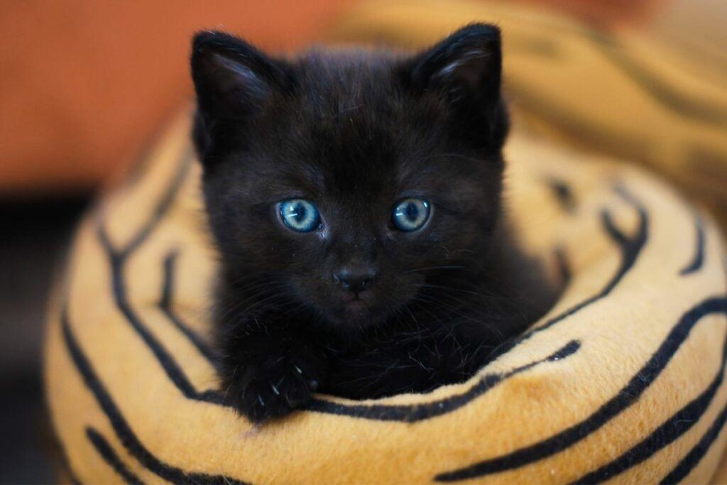 why all kittens have blue eyes