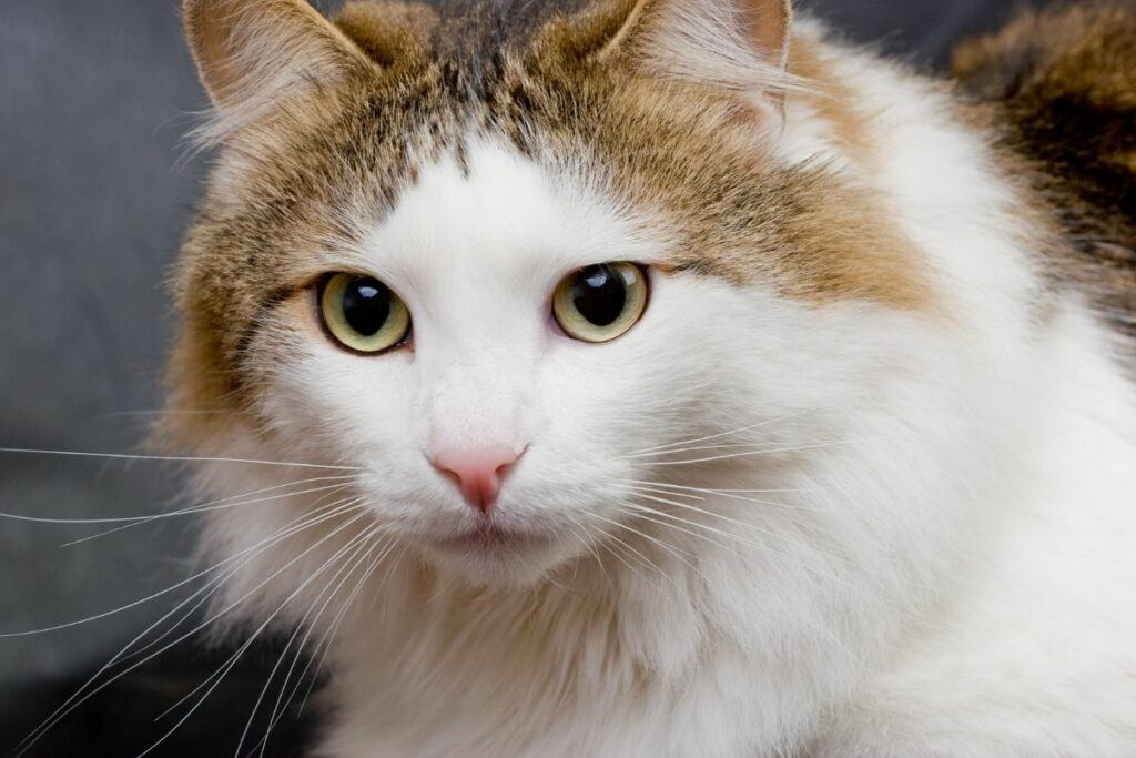 about the ragamuffin cat appearance