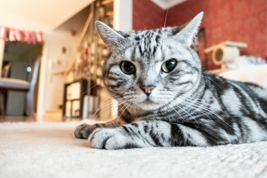 what is cat acne and can it be caused by stress