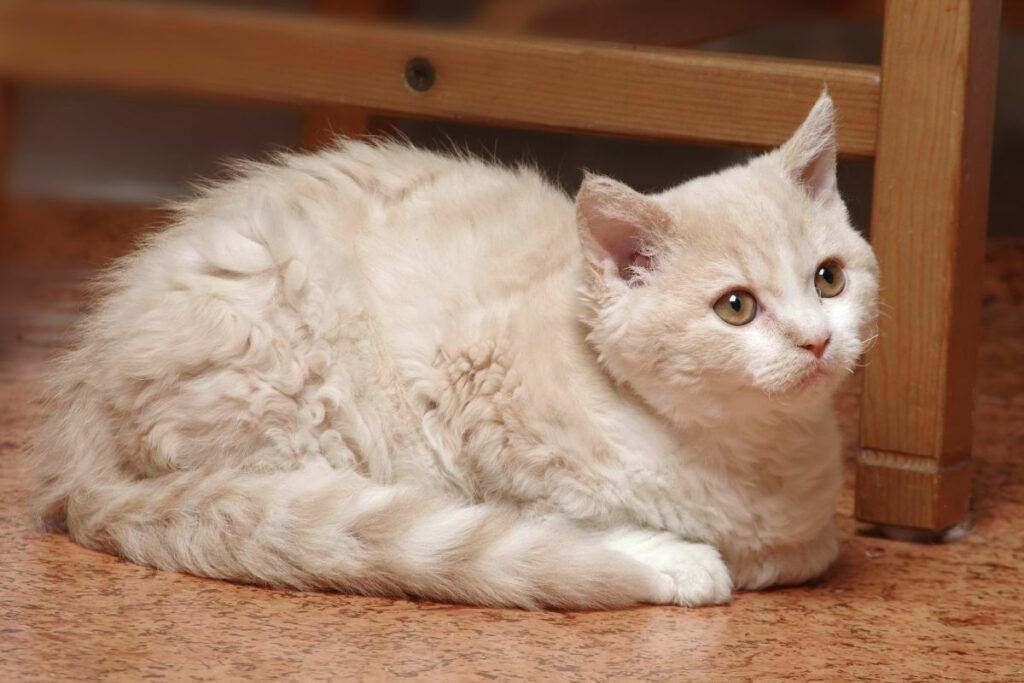 cream and white selkirk rex cat