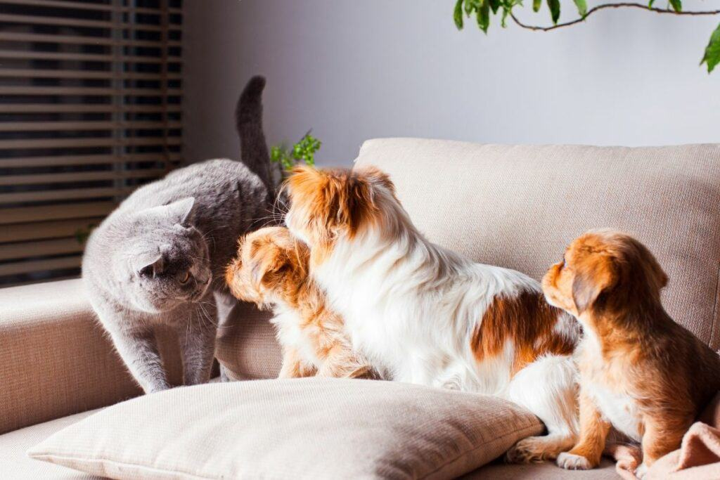 dogs and grey cat on sofa