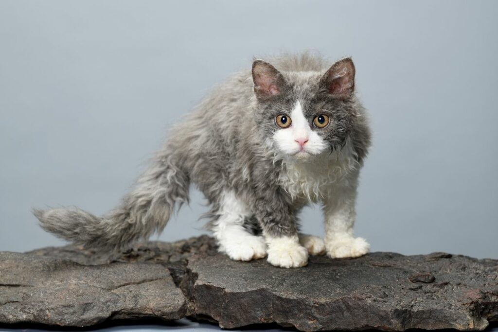 grey and white selkirk rex cat