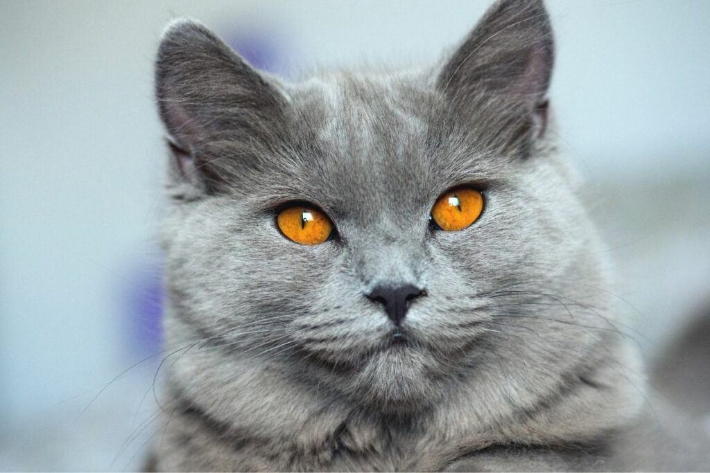 grey chartreux cat with amber eyes