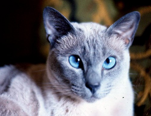 blue point siamese cat