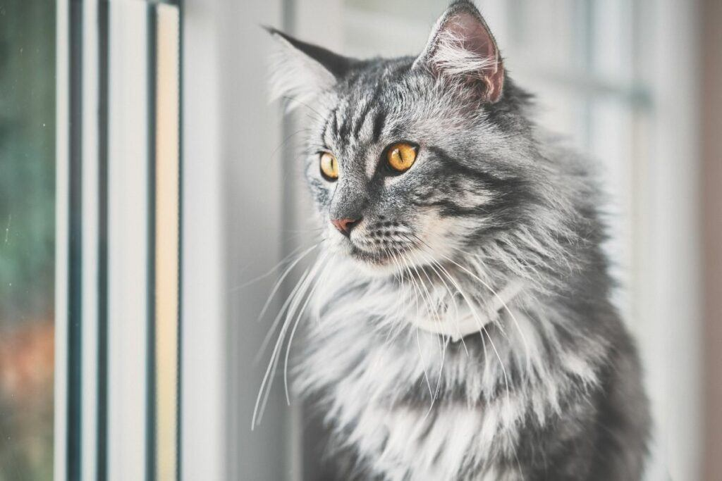 grey maine coon looking out of window