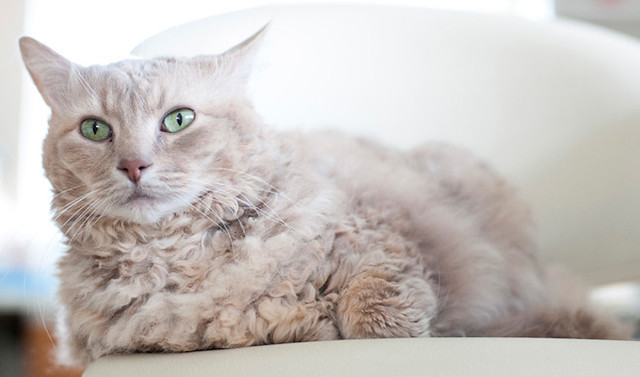la perm rare cat breed