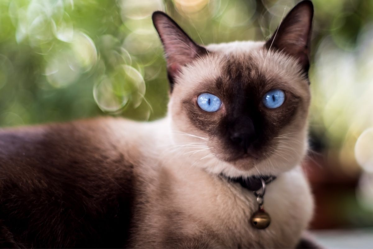 types of siamese cat