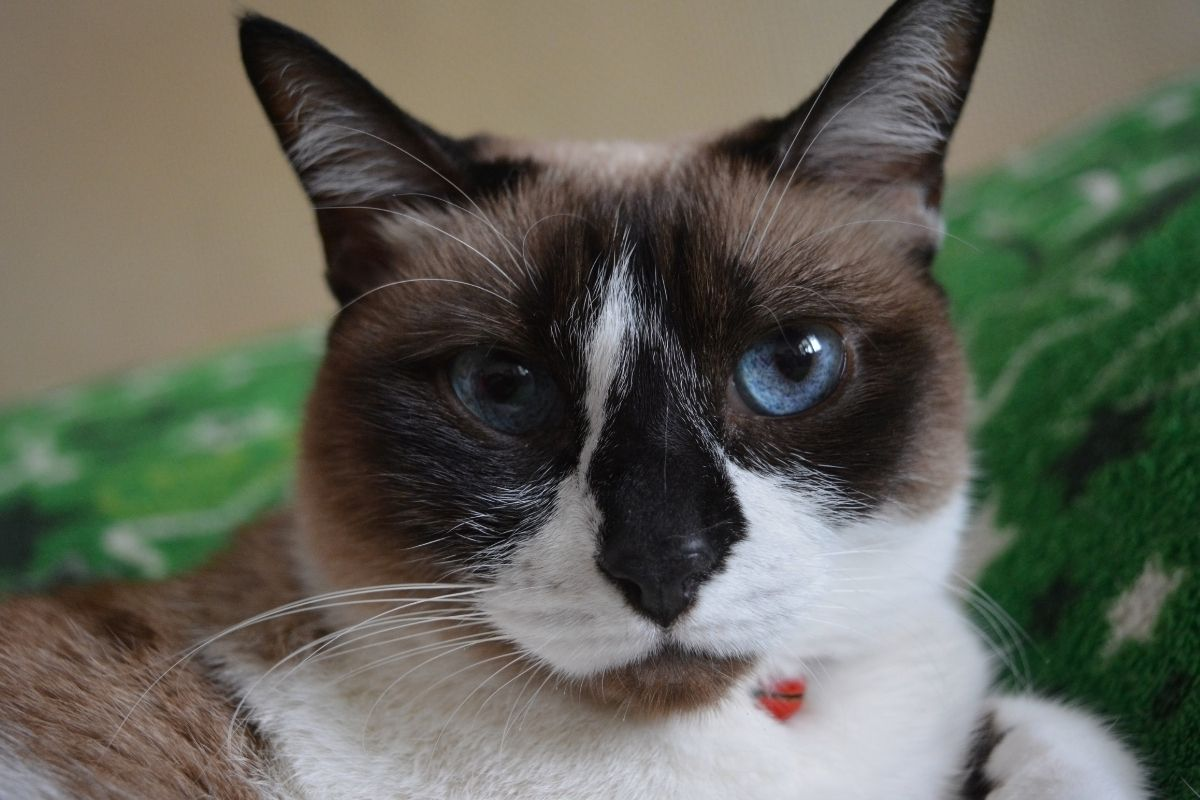about the snowshoe cat
