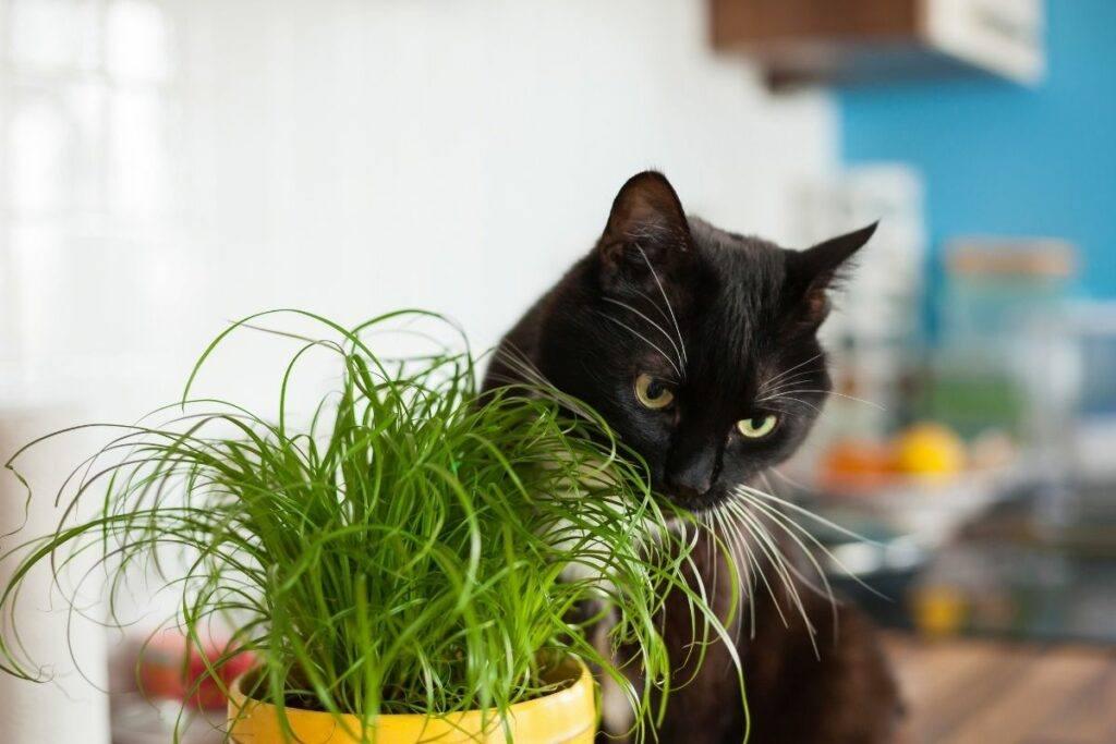 black cat eating cat grass