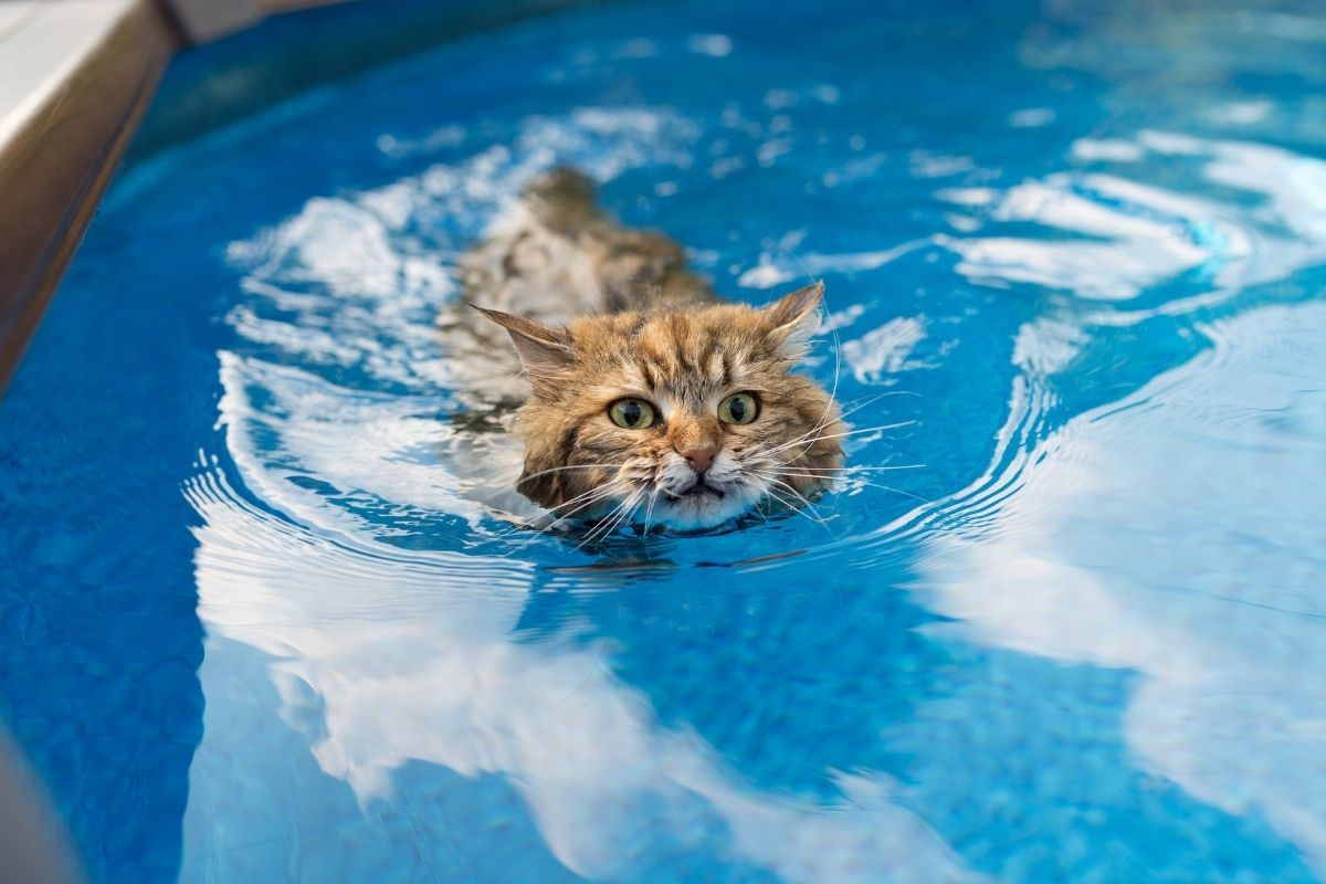 cats that like water