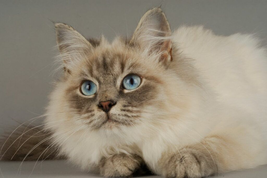 cream siberian forest cat with blue eyes