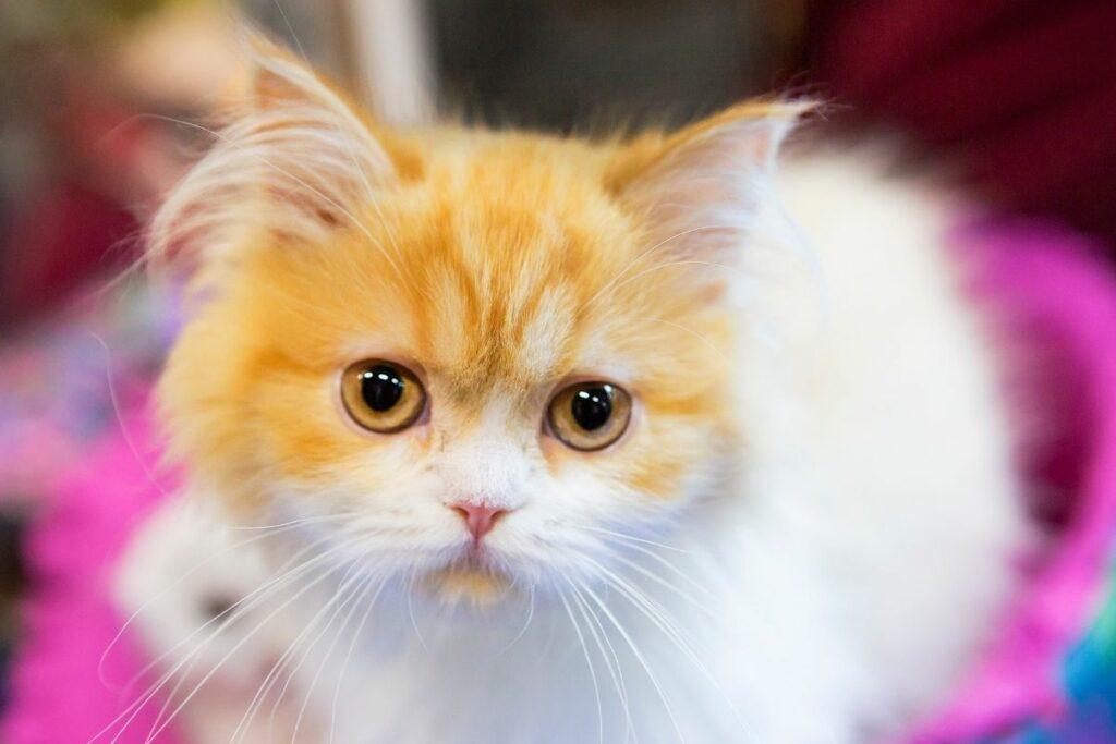ginger and white siberian kitten