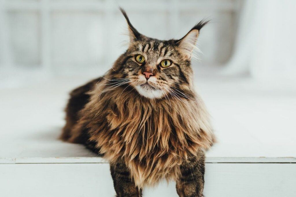 maine coon relaxing
