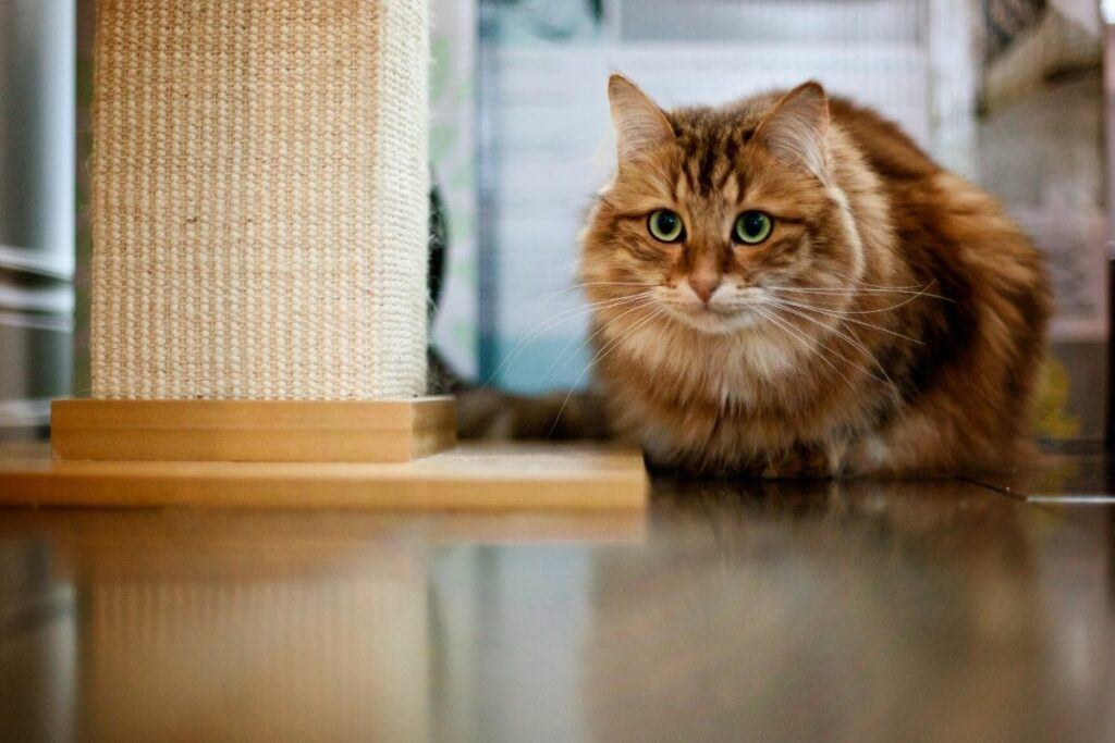 red siberian forest cat