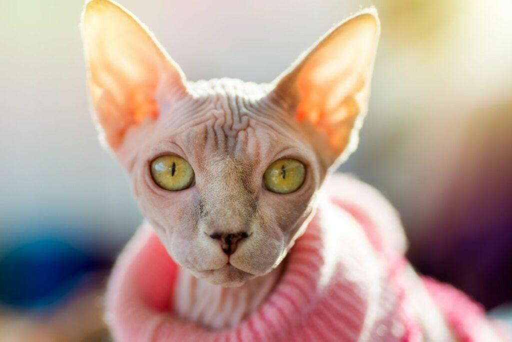sphynx cat wearing pink jumper
