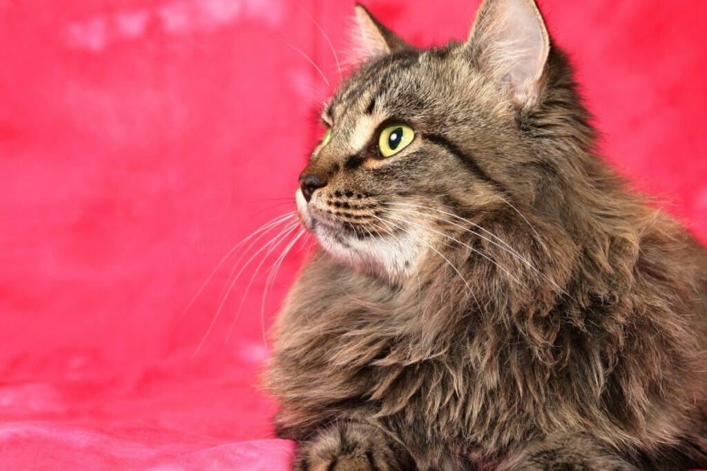 tabby siberian cat