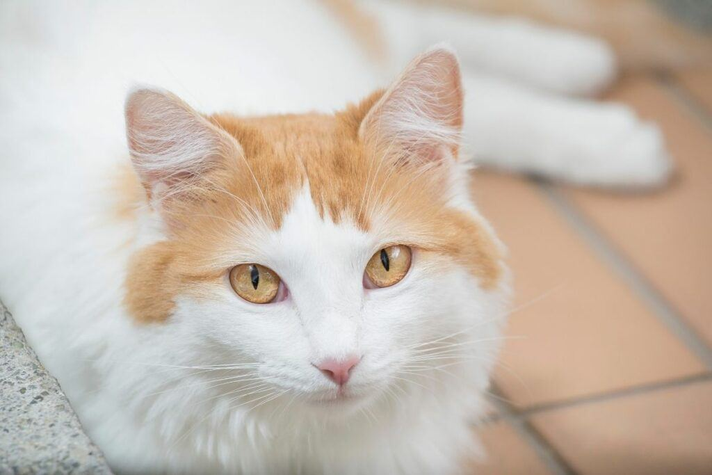 turkish van cat lying on tiled floor