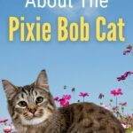 What You Need To Know About The Pixie Bob Cat pin