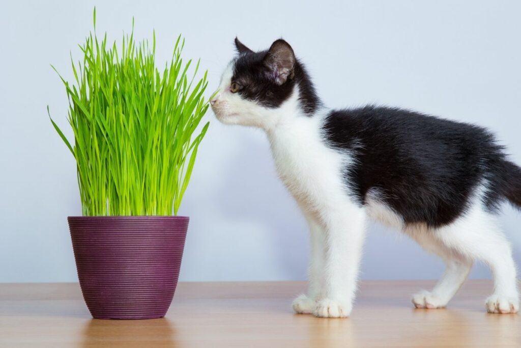 black and white kitten eating cat grass