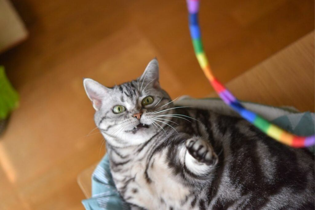 grey cat playing with colorful toy