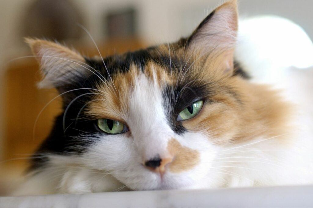 portrait of tortoiseshell cat