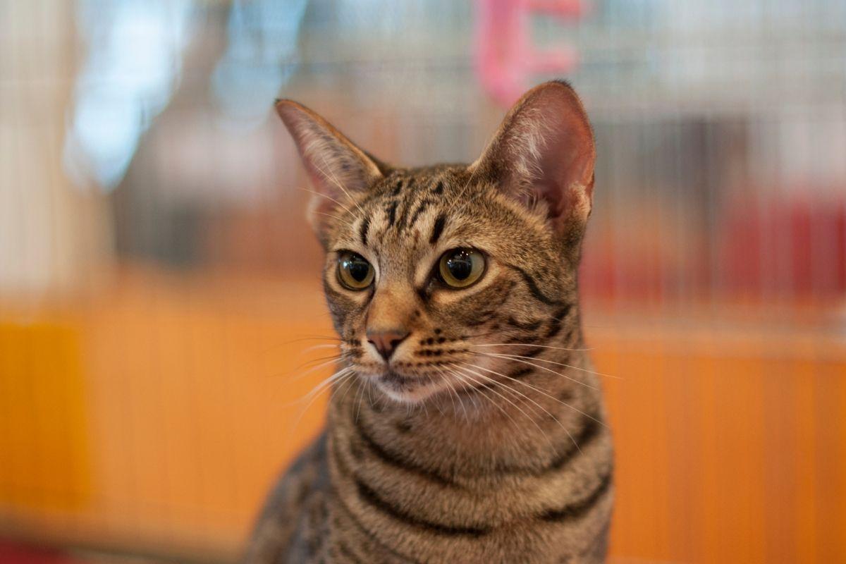 what is an ocicat