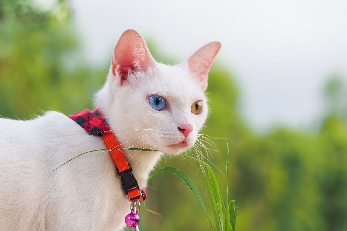 about the khao manee cat
